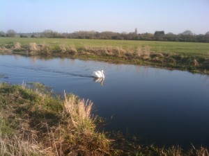 Swan on the River Chelmer through Baddow Meads